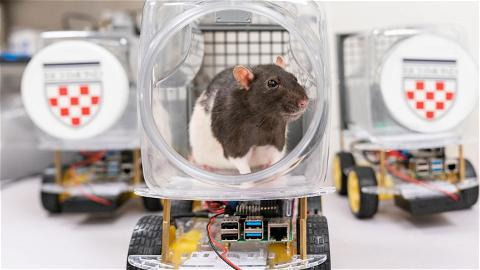 Rats + Froot Loops + tiny cars = driving rats. It's science. The cars are a research tool that Kelly Lambert, #URichmond professor of behavioral neuroscience, and her team use to study how rats learn complex tasks — which may better inform us about conditions in humans such as anxiety and depression.