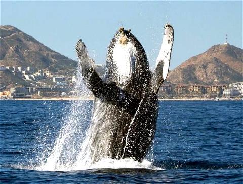 A défaut de pouvoir fêter ton anniversaire avec le Rebel Bar, reste aussi heureux que cette baleine de célébrer la journée internationale qui lui est dédiée ! 🐳🌊⠀ #whaleday #baleine #osullivans #rebelbar